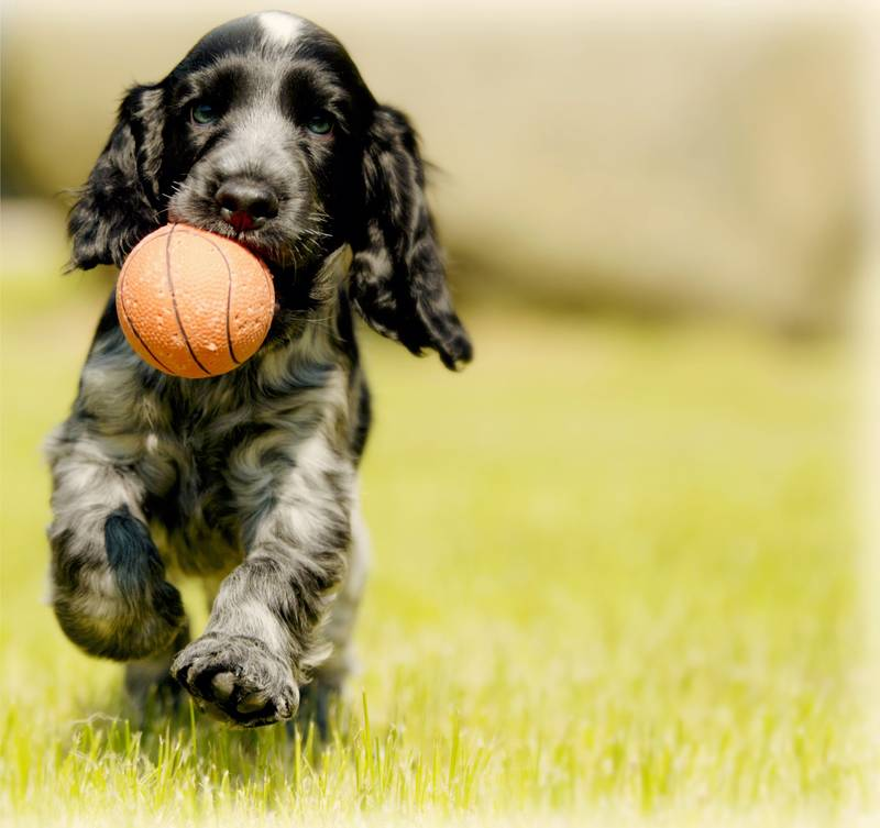depth photography of black and white dog carry red ball