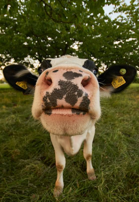 curious cow with wide angel lens