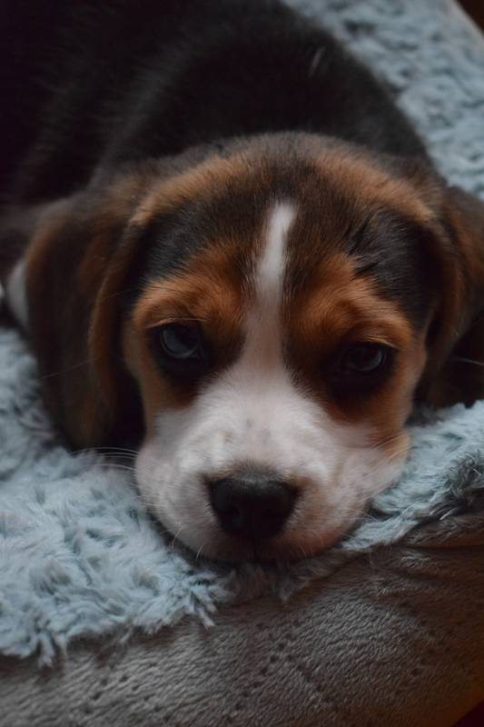 cute sleepy beagle puppy